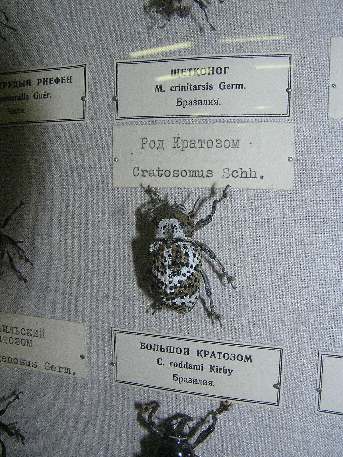 Cratosomus Wikispecies