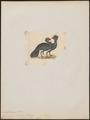 Crax carunculata - 1820-1860 - Print - Iconographia Zoologica - Special Collections University of Amsterdam - UBA01 IZ16900079.tif