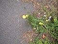 Crepis setosa plant (02).jpg