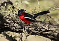 Crimson-breasted Shrike, Laniarius atrococcineus at Polokwane Nature Reserve, Polokwane, Limpopo, South Africa (14688856163).jpg