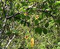 Cross Vine (Bignonia capreolata) - Flickr - Jay Sturner.jpg