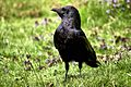 Crow - RSPB Sandy (9167472149).jpg