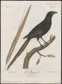 Crypsirhina varians - 1796-1808 - Print - Iconographia Zoologica - Special Collections University of Amsterdam - UBA01 IZ15700069.tif
