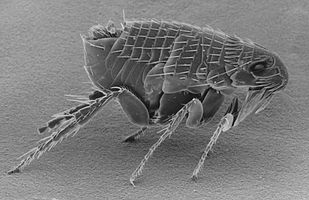 Ctenocephalides-adult-flea.jpg