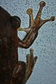 Cuban Tree Frog (Osteopilus septentrionalis) (8575065658).jpg