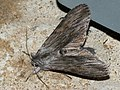 Cucullia lucifuga - Капюшонница чертополоховая (41056071591).jpg