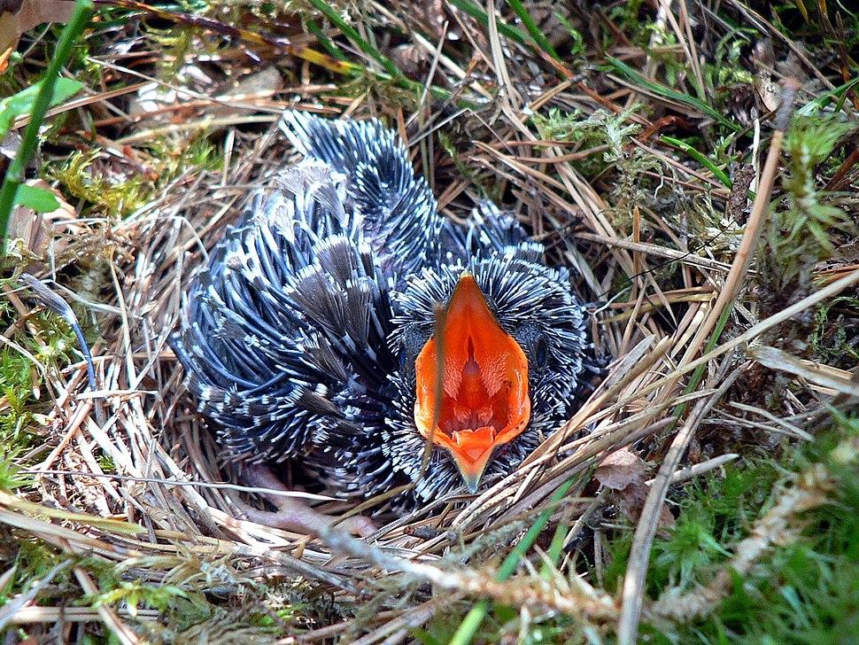 Cuculus canorus chick1
