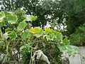 "Cucurbita argyrosperma ""calabaza rayada o cordobesa"" (Florensa) fruto F11 20160309 oidio 2.JPG"