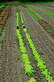 Cultivating the lettuce with the new tractor (8069104279).jpg