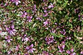 Cuphea rosea Plum Mist 4zz.jpg