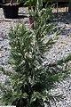 Cupressocyparis leylandii 3zz.jpg