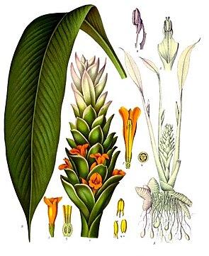 Kurkuma oder Gelbwurz (Curcuma longa), Illustration