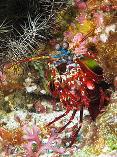 Curious mantis shrimp from Gilli Banta reef.JPG