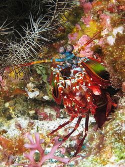 Curious mantis shrimp from Gilli Banta reef.JPG
