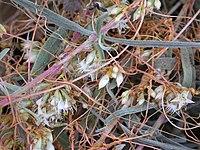 Cuscuta subinclusa flowers 2003-11-08