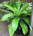 Cyanea truncata full.jpg
