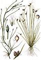 Cyperaceae spp Sturm8.jpg