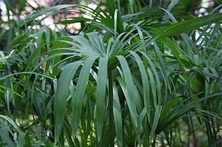 <i>Cyperus scariosus</i> Species of plant