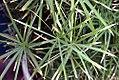 Cyperus alternifolius Gracilis 1zz.jpg