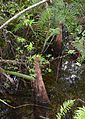 Cypress knees (Taxodium distichum) 1.jpg