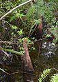 Cypress knees (Taxodium distichum) 1.jpg