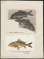 Cyprinus carpio - 1700-1880 - Print - Iconographia Zoologica - Special Collections University of Amsterdam - UBA01 IZ15000025.tif