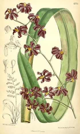 Cyrtochilum edwardii (as Odontoglossum edwardi) - Curtis' 110 (Ser. 3 no. 40) pl. 6771 (1884).jpg