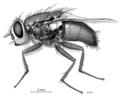 DIPT Calliphoridae Lucilia sericata f.png