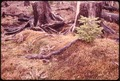 DOUGLAS FIR IN OLYMPIC NATIONAL TIMBERLAND, WASHINGTON NEAR OLYMPIC NATIONAL PARK - NARA - 555095.tif