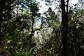 DSC01971 Trees Parque nacional Garajonay.jpg