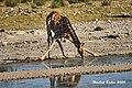 DSC07144.jpeg Giraffe (50713120153).jpg