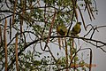 DSC 0517 pair of green pigeon by Dr Pankaj Kumar Upadhyay.jpg