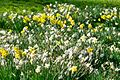 Daffodils (14598998227).jpg