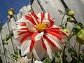 Dahlia hybriden 0.01 R.jpg