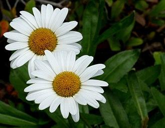 Argyranthemum - Image: Daisy Marguerite Argyranthemum