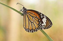 Danaus genutia female in Kerala, India.jpg