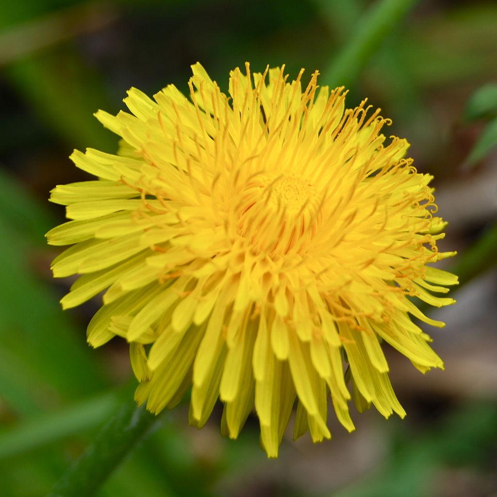 Filedandelionflower2g Wikimedia Commons
