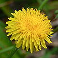 DandelionFlower2.JPG