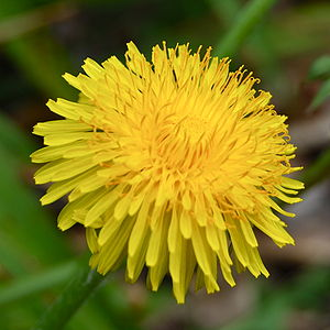 Beneficial weed - Dandelions benefit neighboring plant health by bringing up nutrients and moisture with its deep tap root