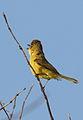 Dark-capped yellow warbler, Iduna natalensis, Vumba, Zimbabwe (21743021660).jpg
