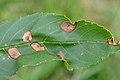 Dasineura fraxinea on fraxinus excelsior (31919137295).jpg