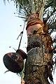 Date Palm Sap Collection - Taki - North 24 Parganas 2015-01-13 4734.JPG