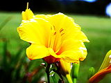 Day Lily at the church.JPG