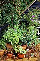 Decking pot plants in Nuthurst parish, West Sussex, England 02.jpg
