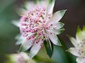 Delicate flower (9029270416).jpg