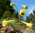 Delphinium luteum 2.jpg