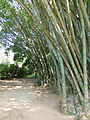 Dendrocalamus giganteus-Jardin botanique de Kandy (3).jpg