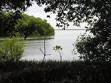 Dense mangroves and their pencil roots in Muthupet Lagoon.JPG