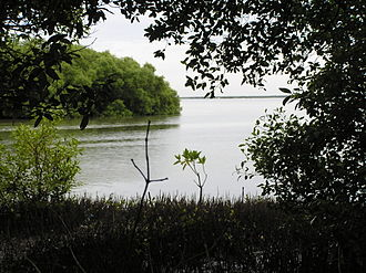 Muthupet - Image: Dense mangroves and their pencil roots in Muthupet Lagoon