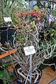 Dermatobotrys saundersii - Botanischer Garten, Dresden, Germany - DSC08457.JPG